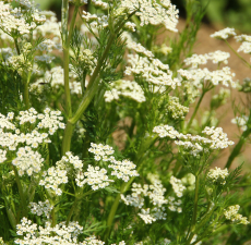 Caraway Scented Oil