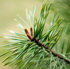 Pine Scented Oil